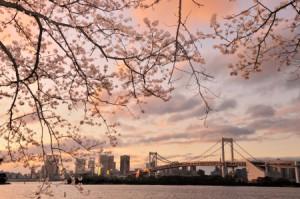 お台場 桜②